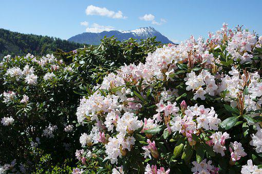 Flowers, Bushes, Plant, Trees, Mountains, Switzerland