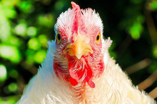 Chicken, Hen, Poultry, Animal, Livestock, Farm Animal
