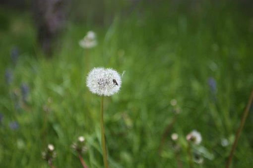 Dandelion, Meadow, Nature, Seeds, Summer