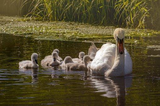 Swan, Baby Swan, Water Bird, Schwimmvogel, Bird