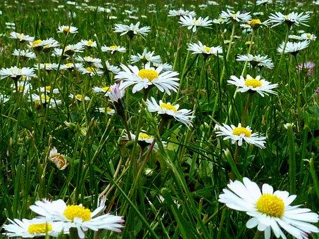 Daisies, White Daisies, Meadow, Nature, White Flowers