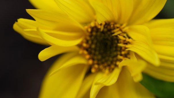 Yellow Flower, Flower, Petals, Mädchenauge, Yellow