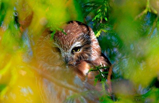 Northern Saw-whet Owl, Owl, Head, Bird, Ave, Avian