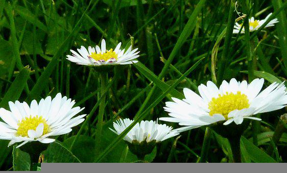 Daisies, Yellow, White, Meadow, Nature, Blossom, Bloom