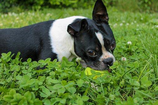 Dog, Boston Terrier, Animal, Cute, Terrier, Puppy