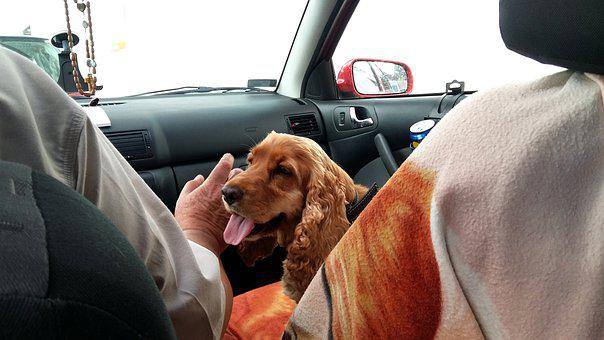 Road, Travel, Spaniel, In The Car, Dog, My Favorite