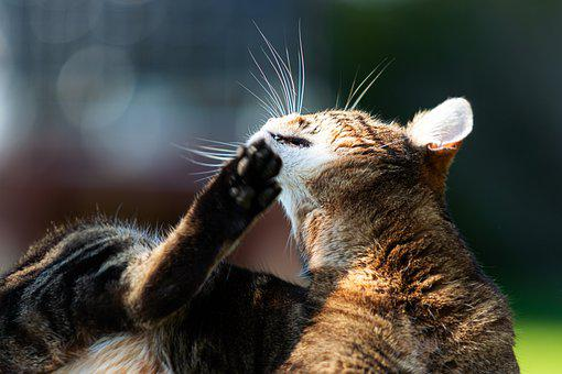 Cat, Animal, Fur, Pet, Domestic Cat, Tabby, Gray Tabby