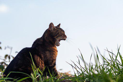 Cat, Yawn, Animal, Fur, Pet, Domestic Cat, Tabby