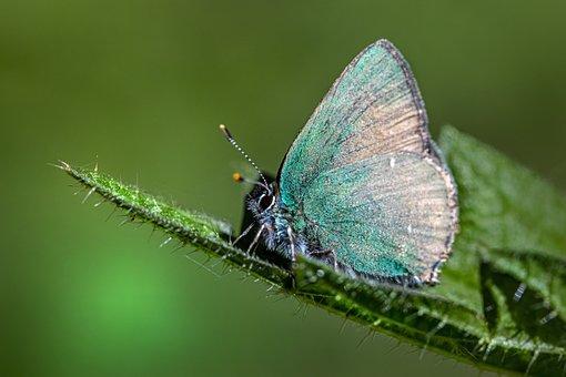 Green Hairstreak, Butterfly, Leaf, Callophrys Rubi