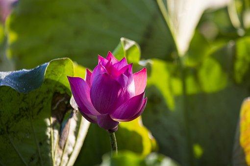 Lotus Flower, May Flower Season, Bright Colors