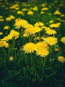 Grass, Dandelion, Meadow, Spring, Nature, Flower