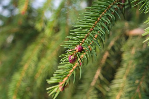 Spruce, Needles, Flowers, Leaves, Branch, Conifer Cones