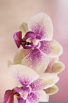 Flower, Orchids, Orchid, Bloom, Blossom, Plant, Nature