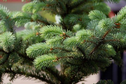 Spruce, Needle, Industries, Nature, Pine Needles, Pine