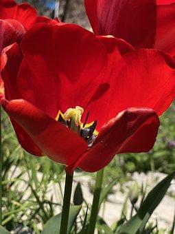 Tulip, Dissolved, Summer, Vegetable Garden, Red, Nature