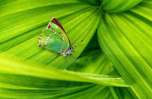 Butterfly, Green, Plants, Leaves, Green Butterfly