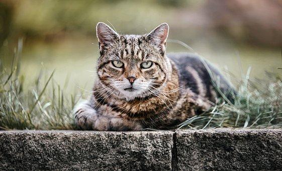 Cat, Pet, Animal, Tabby, Tabby Cat, Gray Tabby