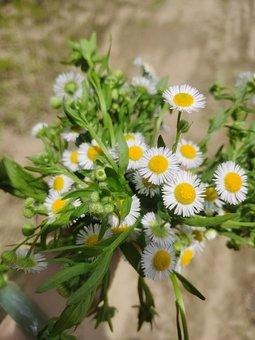 Hand, Flower, Chrysanthemum, Daisy, Grass, Wild Flowers