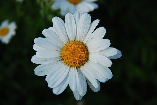 Daisy, Flower, White, White Daisy, White Flower, Petals