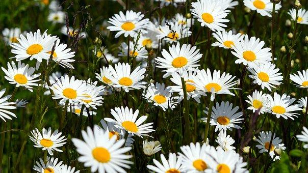 Flowers, Daisies, Blossom, Bloom, Flower Meadow, Spring