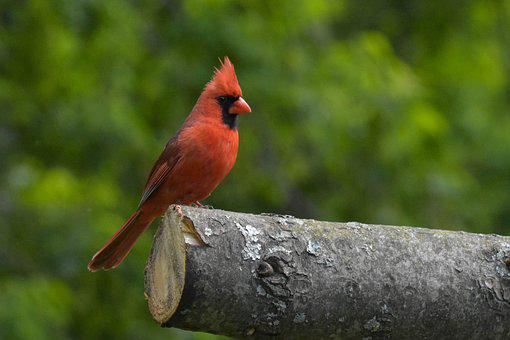 Northern Cardinal, Bird, Wood, Perched, Redbird