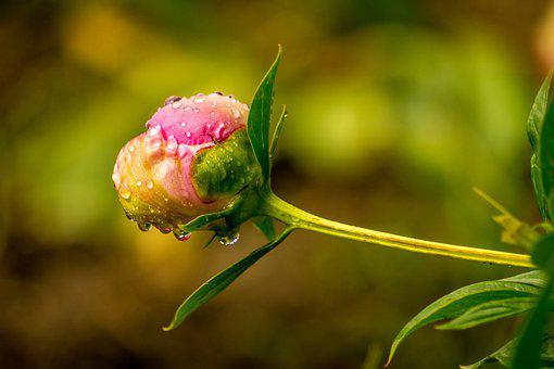 Peony, Flower, Water Droplets, Raindrops, Wet