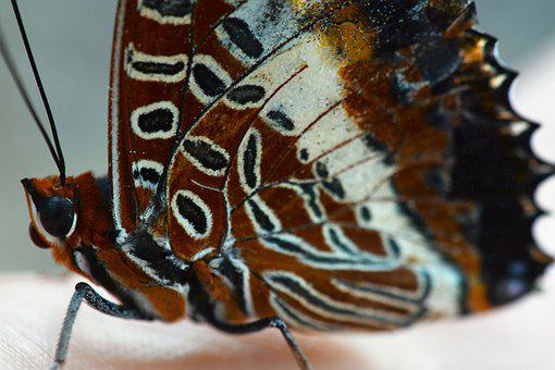 Butterfly, Brown, Insect, Nature, Wings, Wing