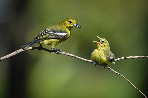 Birds, Fledgling, Feeding, Mother And Child