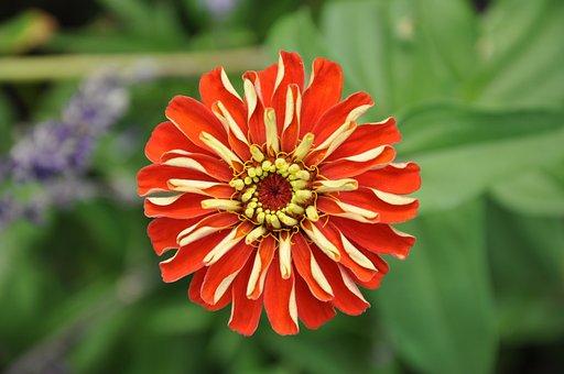 Flower, Dahlia, Petals, Plant, Blossom, Bloom, Flora