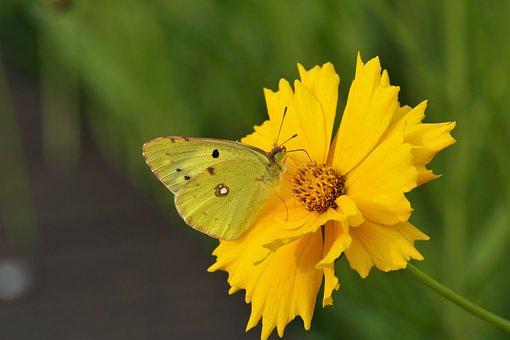 Butterfly, Yellow Flower, Pollen, Pollinate