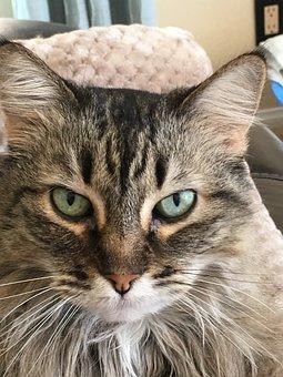 Maine Coon, Cat, Face, Cat's Eyes, Whiskers, Portrait