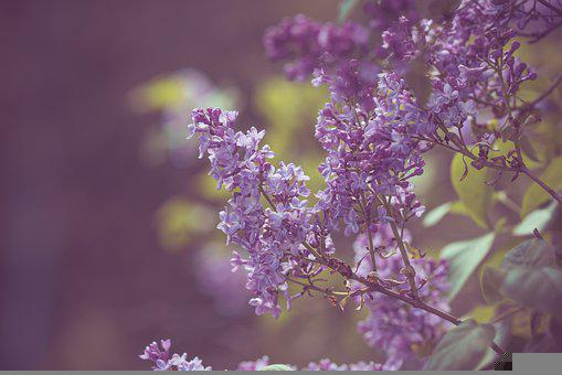 Lilac, Flowers, Branches, Common Lilac, Purple Flowers