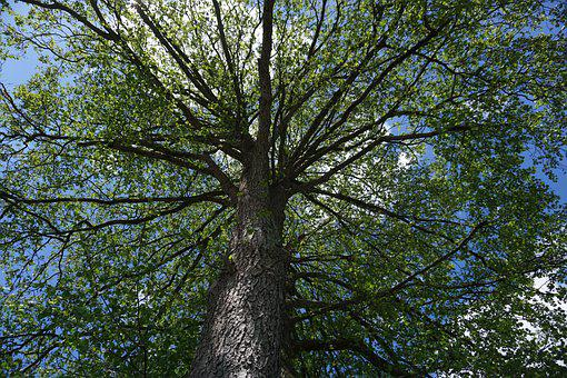Tree, Branches, Canopy, Crown, Trunk, Bark, Foliage