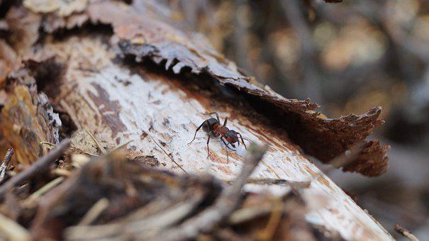 Ants, Nature, Ant, Insect, Wood Ant, Summer, Garden