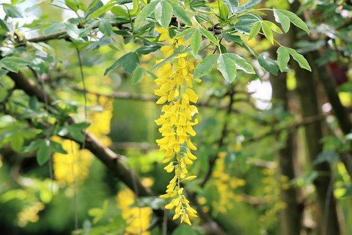 Golden Chain, Flowers, Branch, Laburnum, Golden Rain