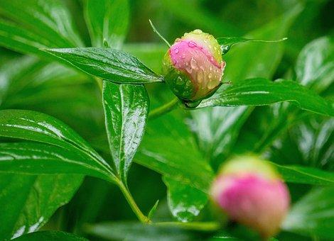 Peony, Flower, Bud, Water Droplets, Peony Bud
