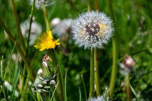 Flower, Dandelion, Wildflower, Meadow, Seeds, Seed Head