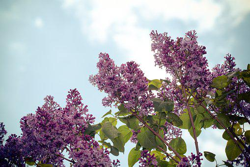 Lilac, Flowers, Branches, Sky, Common Lilac