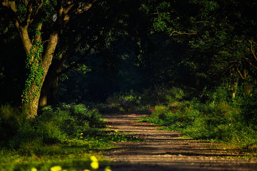Forest, Trees, Trail, Path, Road, Woods, Landscape
