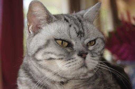 American Shorthair, Cat, Face, Grumpy, Whiskers