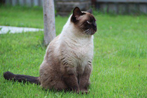 Thai Cat, Cat, Grass, Pet, Feline, Domestic