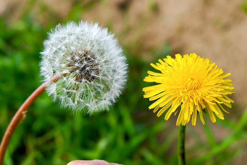 Flowers, Dandelions, Wildflowers, Seeds, Seed Head