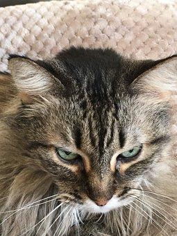 Maine Coon, Cat, Pet, Face, Animal, Domestic Cat