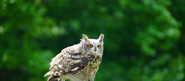 Eagle-owl, Owl, Bird, Bird Of Prey, Plumage, Feathers