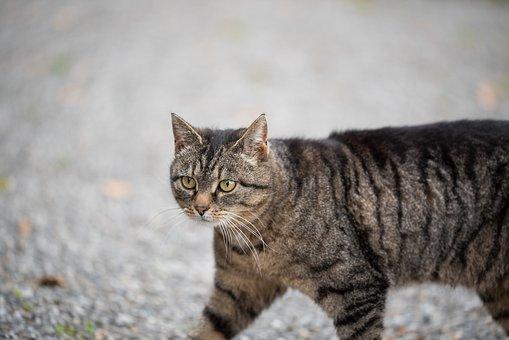 Cat, Grey, Tabby, Gray Tabby, Tabby Cat, Feline, Pet