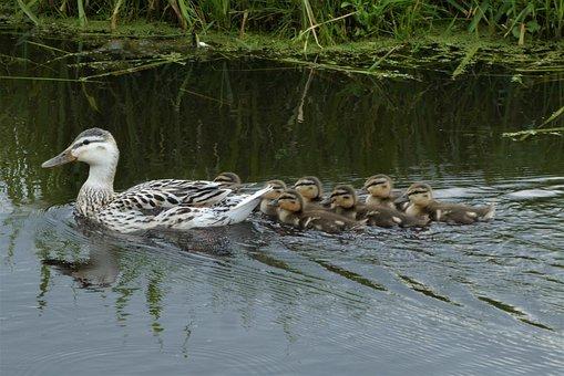 Duck Family, Young Ducks, Mother Duck, Moederzorg