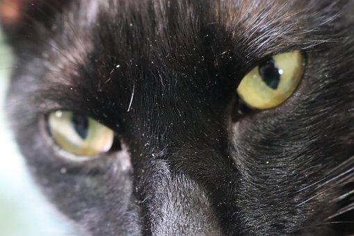 Cat, Pet, Face, Black Cat, Animal, Domestic Cat, Feline