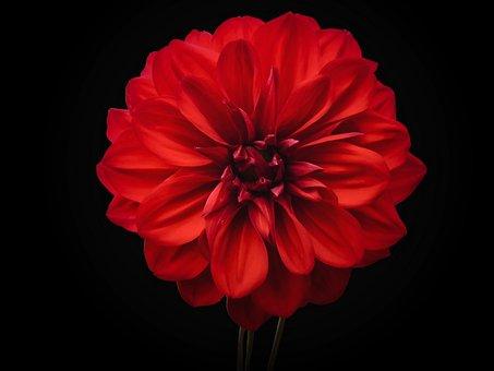 Dahlia, Flower, Plant, Red Flower, Petals, Bloom, Dark