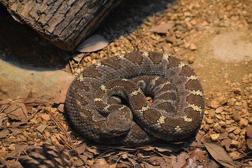 Rattlesnake, Snake, Animal, Texan Rattlesnake