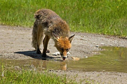 Red Fox, Animal, Wild, Carnivorous, Thirsty, Drink